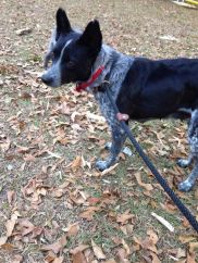 Blue - Adopted 2015!